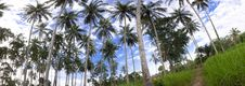 Free Coconut Trees Royalty Free Stock Photos - 16147698