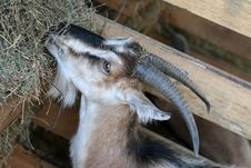 Free Goat Stock Photos - 16148843