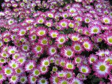Free Chrysanthemums Stock Photography - 16149662