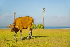 Free The Cow In Batu Belig Stock Photo - 16150300