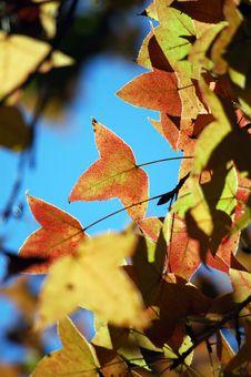 Free Maple Leaf Stock Image - 16150571