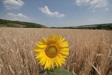 Free Sunflower In A Wheaten Field. Royalty Free Stock Image - 16151706