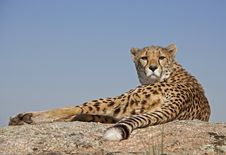 Free Cheetah On A Rock Royalty Free Stock Image - 16151836