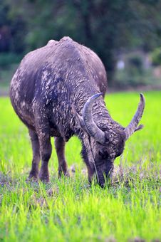 Free Buffalo Royalty Free Stock Images - 16151929