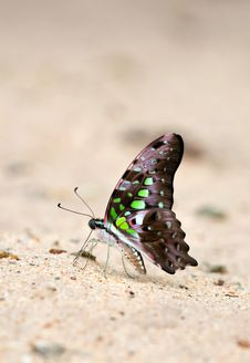 Free Butterfly Eat Soil Royalty Free Stock Photos - 16152138