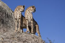 Free Two Cheetahs On A Rock Stock Image - 16152181