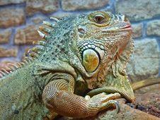 Lizard Iguana. Stock Photos