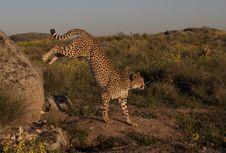 Free Jumping Cheetah Royalty Free Stock Photography - 16152727