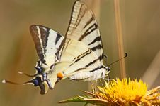 Free Beautiful Swallowtail Butterfly Stock Photos - 16152773