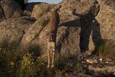 Free Jumping Cheetah Royalty Free Stock Images - 16152819