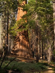 Free Mariposa Grove Redwoods Royalty Free Stock Photography - 16153717