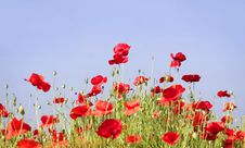 Free Poppies Royalty Free Stock Photography - 16155567