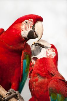 Free Two Colorful Parrots Eating. Stock Photo - 16155680