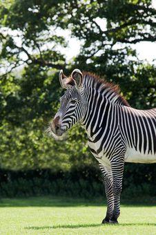 Free Zebra Royalty Free Stock Image - 16155816