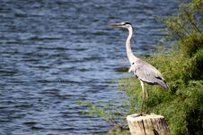 Free Grey Heron Stock Photos - 16155993