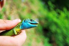 Free Blue Lizard Stock Photography - 16156822