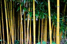 Free Bamboo Forest Royalty Free Stock Image - 16158136