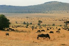 Free Kenya S Maasai Mara Animal Migration Royalty Free Stock Images - 16158239
