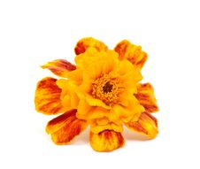 Marigold Flower Stock Image