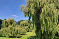 Free Weeping Willows Stock Photo - 16166710