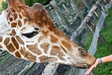 Free Feeding Giraffe From Hand Stock Photos - 16163593