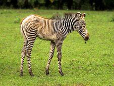 Free Zebra Child Royalty Free Stock Photo - 16164265