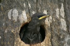 Free Small Bird Looking Out Of A Hole In A Tree Stock Photo - 16164580