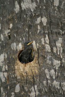 Free Small Bird Looking Out Of A Hole In A Tree Stock Image - 16164581