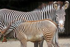 Free Zebras Stock Images - 16166804