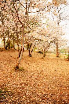 Free Sakura Trees In Thailand Royalty Free Stock Image - 16166896