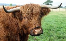 Free Highland Cow Royalty Free Stock Images - 16168179