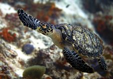 Free Sea Turtle Royalty Free Stock Photography - 16169227
