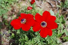 Free Anemones - Flowers Of Spring Royalty Free Stock Images - 16169569