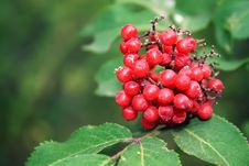 Free Red Berries Royalty Free Stock Photography - 16169617