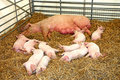 Free Mother With Piglets Stock Photo - 16174230