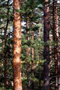Free Evergreen Trees Royalty Free Stock Photography - 16176487