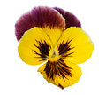 Free Lilac And Yellow Pansy On White Royalty Free Stock Image - 16177026