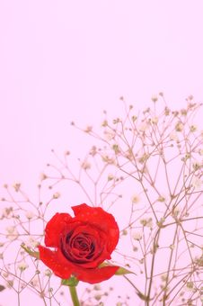 Free Baby S Breath And Rose On Pink Satin Royalty Free Stock Photography - 16171677