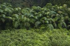 Free Forest Ferns Royalty Free Stock Image - 16171926