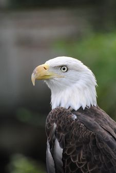 Free Eagle Profile Stock Photography - 16172212