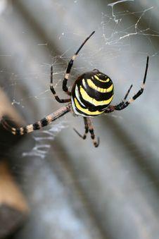 Argiope Spider Stock Photo