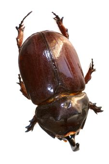 Free Rhinoceros Beetle From On High Stock Image - 16173521