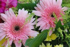 Free Pink Daisy Royalty Free Stock Images - 16173769