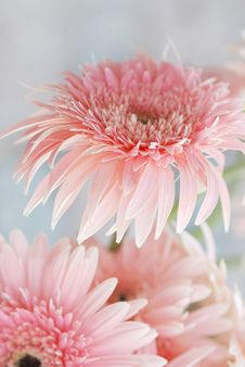 Free Pink Daisy Royalty Free Stock Photography - 16173787