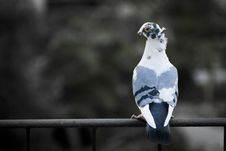 Free Pigeon On Railing Stock Photography - 16176122