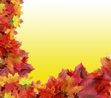 Free Autumn Maple Foliage On Yellow Royalty Free Stock Photography - 16176267