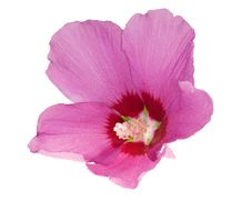 Beautiful Isolated Pink Flower Stock Photography