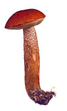 Free Bright Isolated Orange-cap Mushroom Stock Images - 16177014