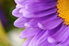 Free Aster Stock Photography - 16178112