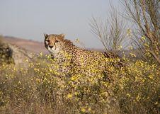 Free Cheetah Behind Flowers Royalty Free Stock Photos - 16178498
